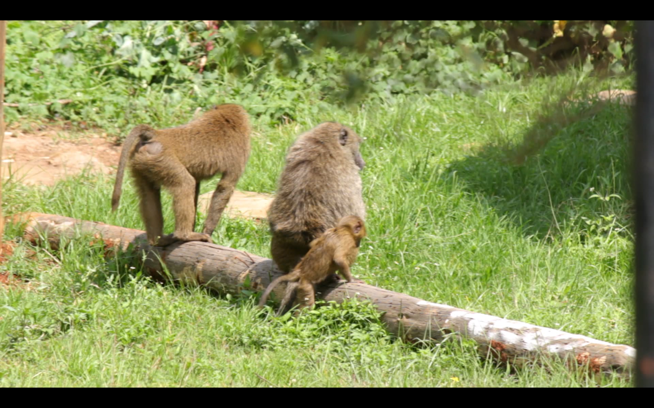 Kenya Vlog 07 – Baboons In Our Backyard